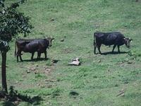 2日目、隠岐牛の放牧を見学.JPG