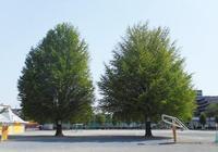 南台小のイチョウの木